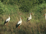 White Storks in High Grass