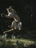 Mountain Lion Leaps into the Air