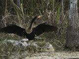 Anhinga Spreads its Wings on Floridas Gulf Coast