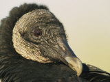 Close View of a Black Vulture