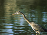 Great Blue Heron in Hunting Position in Water