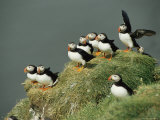 A Group of Atlantic Puffins Perch on a Grass-Covered Cliff
