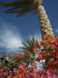 Bougainvillea Flowers Surround a Palm Tree