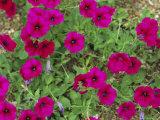 Glowing Magenta Petunias in Bloom