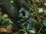 Close View of a Gorillas Hands
