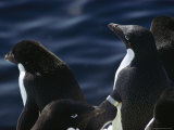 Adelie Penguins Stand at the Waters Edge