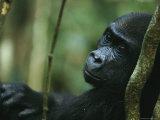 Portrait of a Juvenile Gorilla