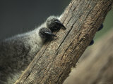 Close View of Koala Bear Claws Gripping a Wooden Post