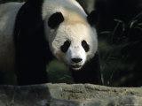 A Giant Panda Walks Through a Summer Sun Patch  National Zoo  Washington DC