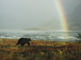 Alaskan Brown Bear and Rainbow near Nonvianuk Lake in Katmai National Park  Alaska