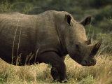 White Rhinoceros  Ubizane Game Park  South Africa