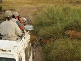 Tourists Photograph Lions from Atop a Land Rover (Pantera Leo)