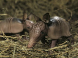Pair of Juvenile Nine-Banded Armadillos  Melbourne  Florida