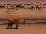 A Spotted Hyena Walks Near a Herd of Zebras (Crocuta Crocuta)