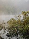 Great Blue Heron Waits for Breakfast near the Appalachian Trail  Lake Hebron  Maine