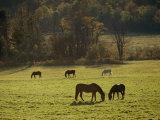 Horses Grazing in a Field  Tyringham  Massachusetts
