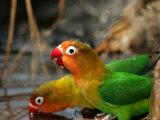 Two Fishers Lovebirds Drinking Water (Agapornis Fischeri)