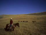 A Cowboy Herds Cattle on a Ranch  Steamboat Springs  Colorado