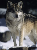 A Gray Wolf Stands Cautiously on a Sunnew York Winter Day