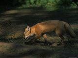 Red Fox at Isle Royale National Park  Michigan