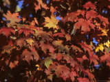 Red Maple Leaves in Fall Show off Their Brilliance in a Sunnew York Day