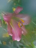 Trumpet Lily  Seattle  Washington  USA