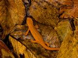 Red-Spotted Newt or Eastern Newt  Salamander  Bennington  Vermont  USA