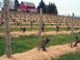 Early Growth on the Vines in the Willamette Valley Wine Country  Oregon  USA