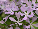 Wild Blue Phlox  Great Smoky Mountains National Park  Tennessee  USA