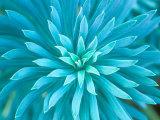 Euphorbia, Roche Harbor, Washington, USA Papier Photo par Rob Tilley