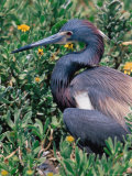 Tricolored Heron  Texas  USA