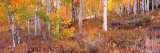 Aspen Grove Autumn Color  Logan Canyon  Utah  USA