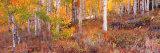 Aspen Grove Autumn Color  Logan Canyon  Utah  USA