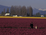 Skagit Valley Tulip Festival in April  Washington  USA