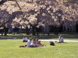 Cherry Blossoms and Trees in the Quad  University of Washington  Seattle  Washington  USA