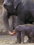 Mother Elephant Helps Feed Calf  Oregon Zoo  Portland  Oregon  USA
