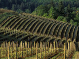 Sunrise over Vineyard in Red Hills above Dundee  Oregon  USA