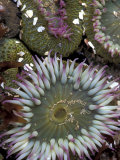 Giant Sea Anenomes at Second Beach  Olympic National Park  Washington  USA