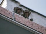 Two Roaming Monkeys Peeking Over Red Brick Wall