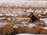 Elk at Jackson Hole  National Elk Refuge  Wyoming  USA