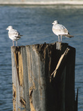 Seagulls on Wet and Rickety Submerged Wooden Posts