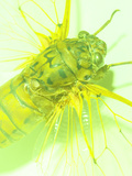 Close-up of Green Fly