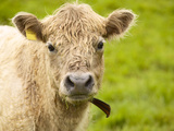Shaggy Cow with Yellow Ear Tag Standing in Green Pasture