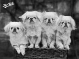 "Group of Four ""White"" Pekingese Puppies in a Basket Owned by Stewart"