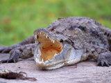 Crocodile  Mara River  Kenya