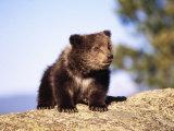 Brown Bear Cub Sitting on Rock