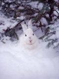 Snowshoe Hare  MT