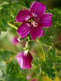 Northern Island Tree Mallow in Bloom  CA