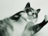 Gringa the Cat