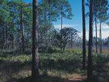 Gulf Coast Pine Flatwoods